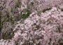 shibawannkoの花巡り ~桜/梅/つつじ_ギャラリー一覧~