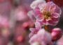 小田原 曽我梅林 ~見頃を迎えた小田原梅まつりへ!綺麗な紅梅がいっぱい~