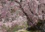 丹沢湖 ~コバルトブルーの湖畔に映える満開の枝垂れ桜~