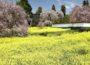 慈雲寺のイトザクラ&塩山桃源郷 ~一面の花が咲くまさにここが桃源郷!~